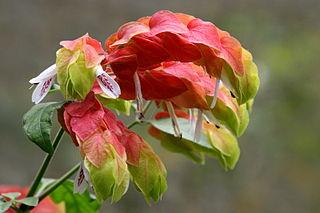 <i>Justicia brandegeeana</i> species of plant