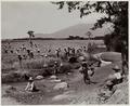 KITLV - 19183 - Kurkdjian - Soerabaja - Rice harvest in Java - circa 1920.tif