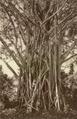 KITLV - 79942 - Kleingrothe, C.J. - Medan - Rubber tree (Ficus Elastica), probably in Rambong in Malaysia- - circa 1910.tif