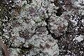 Kaiserberg 30.04.2017 Lichen (34141443600).jpg
