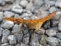 Kaisermantel (Argynnis paphia) 6170397.jpg