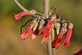Kalanchoe daigremontiana flowers close.JPG