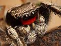 Kaldari Habronattus coecatus male 01 cropped.jpg