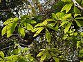 Karincher (Malayalam- കരിഞ്ചേര്) (5553008069).jpg