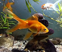 Goldfish - WikipediaFresh Water Aquarium Gold Fish Images