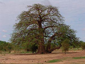 Kayes - Baobab tree.
