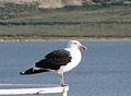 Kelp Gull (3395720390).jpg
