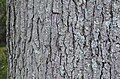 Kentucky Coffee Tree Gymnocladus dioicus Bark Horizontal.jpg