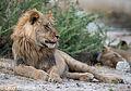 Khutse male lion.jpg