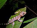 Kinabalu Bow-fingered Gecko (Cyrtodactylus baluensis) (6725931133).jpg