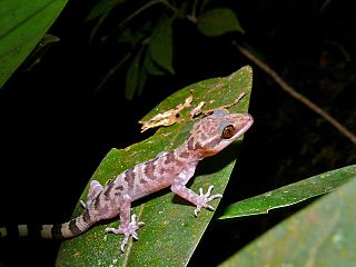 Balu bow-fingered gecko Species of lizard