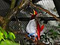 King Bird-of-paradise Cicinnurus regius (6970129156).jpg