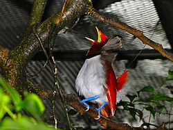 King Bird-of-paradise Cicinnurus regius (6970129156).jpg