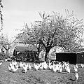 Kippen, Bestanddeelnr 254-3494.jpg