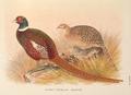 Kirghiz Mongolian Pheasant by H. Jones.png