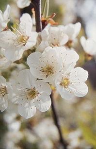 Kirschblueten 2048.jpg
