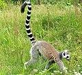 Knuthenborg Safaripark - en lemur.jpg