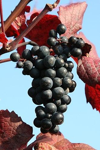Teinturier - Grapes of the teinturier variety Kolor