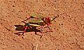 Koppie Foam Grasshopper (Dyctiophorus spumans) (6600807151).jpg