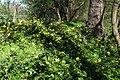 Korina 2016-04-21 Mahonia aquifolium.jpg