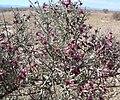 Krameria grayi 11.jpg