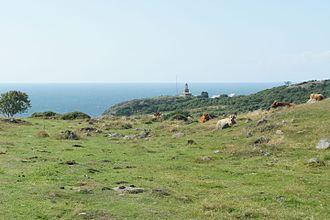 Kullaberg - Grazing cattle on the seaside fell meadows