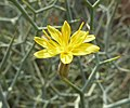 L. arborescens flor-1.JPG