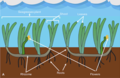 Labelled drawing of seagrass plants.png