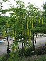 Laburnum × watereri, Osaka, Japan 1.jpg