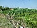 Ladang di perbatasan PIER dengan perkampungan Desa Curah Dukuh, Kecamatan Kraton, Kabupaten Pasuruan - panoramio.jpg