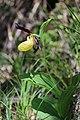 Lady's-Slipper Orchid - Cypripedium calceolus (14225734562).jpg