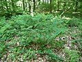 Landschaftsschutzgebiet Waldgebiet bei Neuenkirchen Melle - Im Wald- Datei 7.jpg