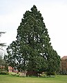 Large conifer in grounds of New Forest District Council - geograph.org.uk - 154962.jpg