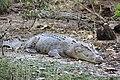 Large saltwater croc.jpg