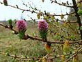 Larix decidua flowers.jpg