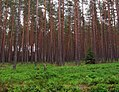 Las sosnowy swiezy02.jpg