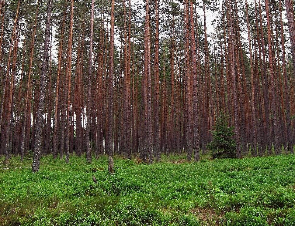 Las sosnowy swiezy02