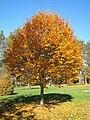 Lasdon Arboretum - Sorbus alnifolia - IMG 1481.jpg
