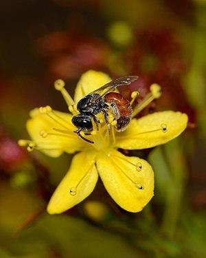 Lasioglossum pseudosphecodimorphum female