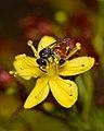 Lasioglossum pseudosphecodimorphum female 2.jpg