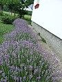 Lavanda u cvetu - panoramio.jpg