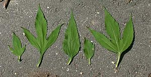 Plant morphology - Variation in leaves from the giant ragweed illustrating positional effects. The lobed leaves come from the base of the plant, while the unlobed leaves come from the top of the plant.