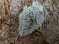 Lecanora carpinea 2.JPG
