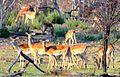 Lechwe antelopes.JPG