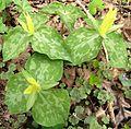 Lemon Trillium aka Yellow Trillium (Trillium luteum) - Flickr - Jay Sturner.jpg