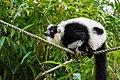 Lemur (25082218677).jpg