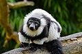 Lemur (26992495478).jpg