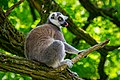 Lemur (35782772433).jpg