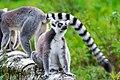 Lemur (36915648800).jpg