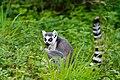 Lemur (36915677470).jpg